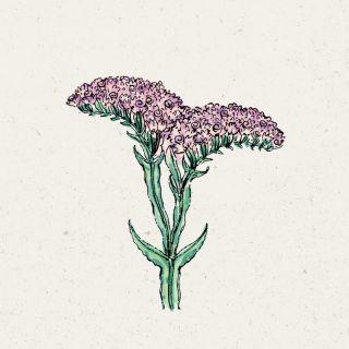 Blumensamen - Limonium QIS Pastel