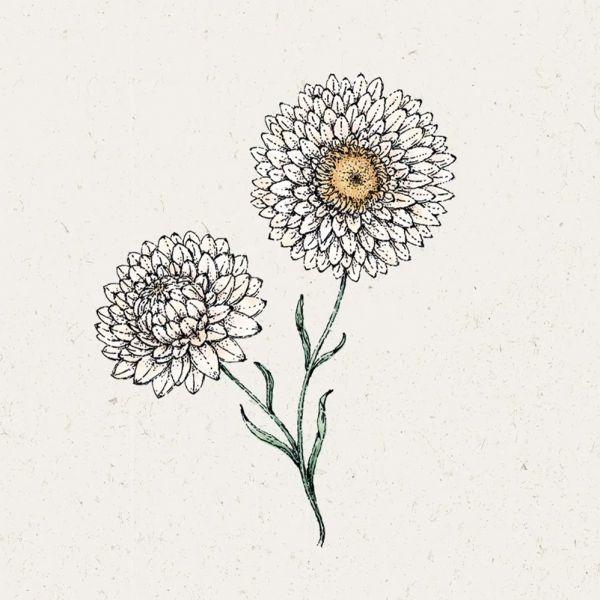 Blumensamen - Helichrysum bract. Silvery Rose