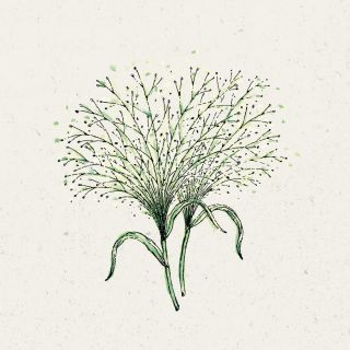 Blumensamen - Panicum virgatum Fontaine (Rutenhirse)