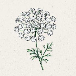 Blumensamen - Ammi majus (Knorpelmöhre)