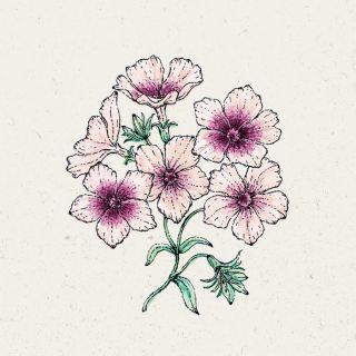 Blumensamen - Phlox drummondii Cherry Caramel (Sommer-Phlox)