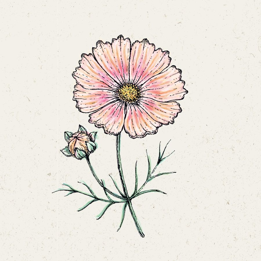 Blumensamen - Cosmos Bipinnatus Apricot Lemonade (Kosmee)