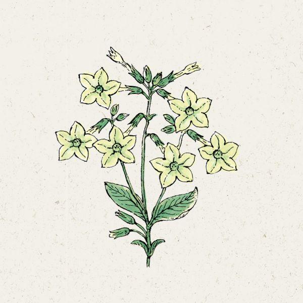 Blumensamen - Nicotiana alata Lime Green (Ziertabak)