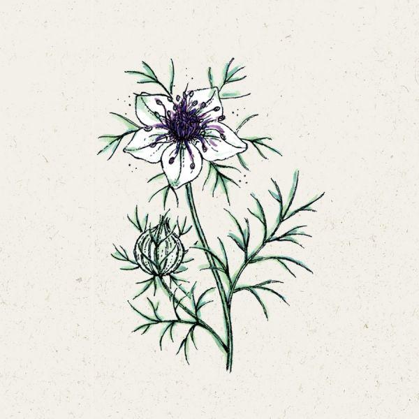Blumensamen - Nigella papillosa African Bride