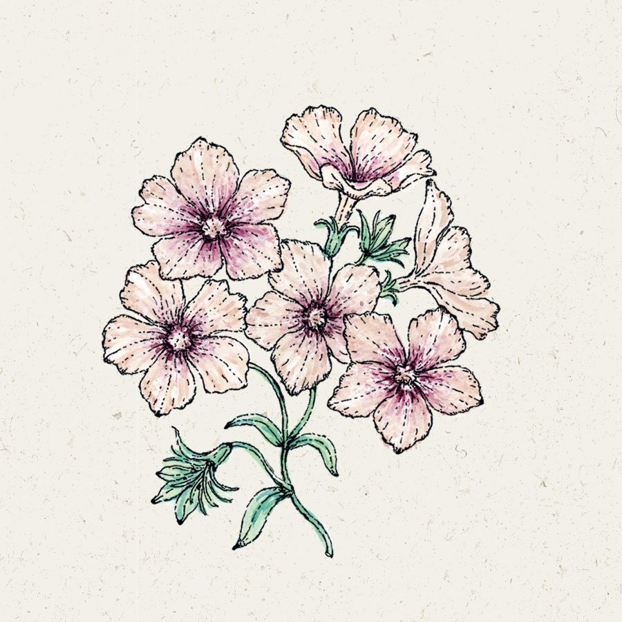 Blumensamen - Phlox Drummondii Crème Brûlée (Sommer-Phlox)