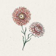 Blumensamen - Helichrysum bract. Salmone Rose