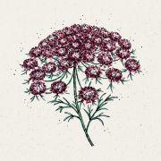Blumensamen - Daucus Carota Dara (Wilde Möhre)