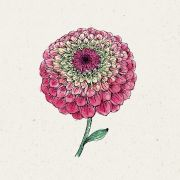 Blumensamen - Zinnia elegans Queen Red Lime (Zinnie)
