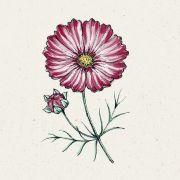 Blumensamen - Cosmos bipinnatus Velouette (Kosmee)