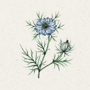 Blumensamen - Nigella damascena Miss Jekyll