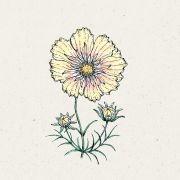 Blumensamen - Cosmos Bipinnatus Xanthos (Kosmee)