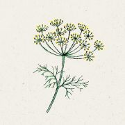 Blumensamen - Anethum Graveolens (Dill)