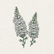Blumensamen - Antirrhinum majus Royal Bride (Löwenmäulchen)