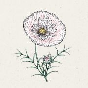 Blumensamen - Cosmos bipinnatus Cupcake Blush (Kosmee)