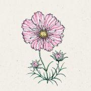 Blumensamen - Cosmos bipinnatus Rosetta (Kosmee)