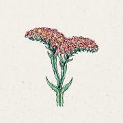 Blumensamen - Limonium sinuatum QIS Apricot