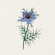 Blumensamen - Nigella hispanica Midnight (Jungfer im Grünen)
